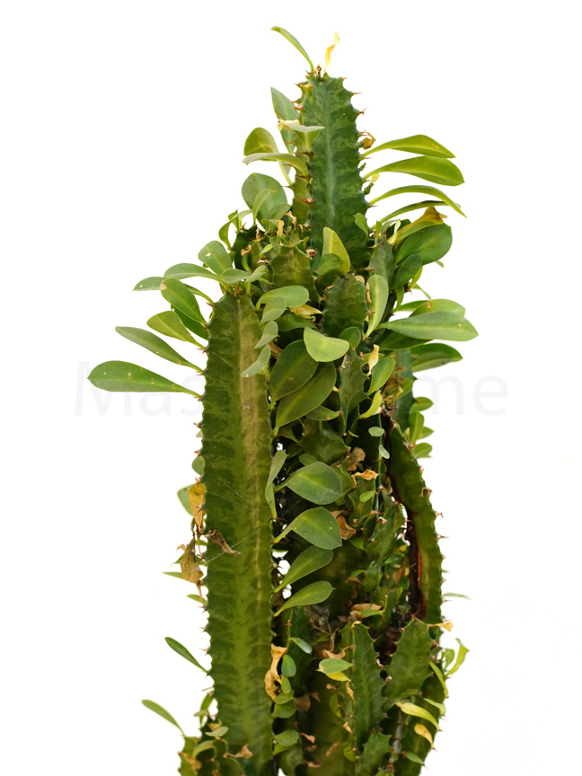 Euphorbia Trigona Indoor Plants Succulent