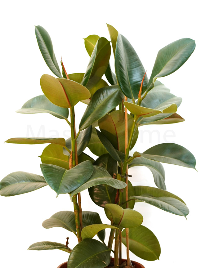 فيكس مطاط نباتات داخلية شجيرات