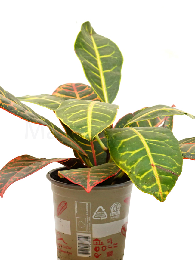 كروتون صغير 'نباتات داخلية شجيرات