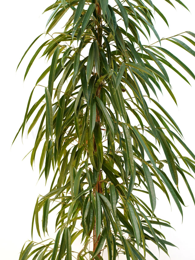 تين نباتات خارجية اشجار