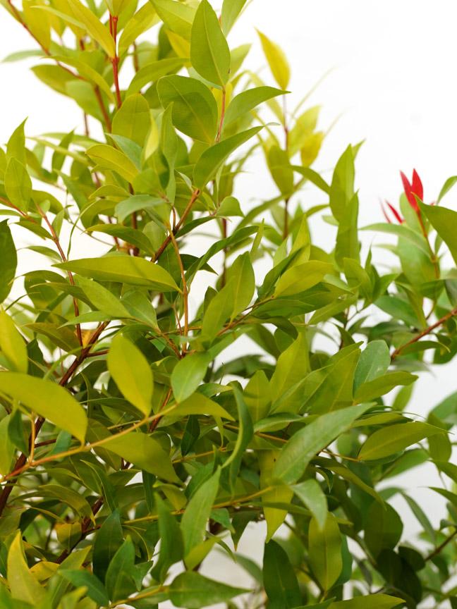 Eugenia Plant Outdoor Plants Shrubs