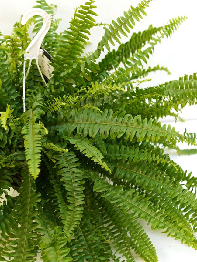 نيفرولوايبس اكستاتا 'نباتات داخلية معلقة