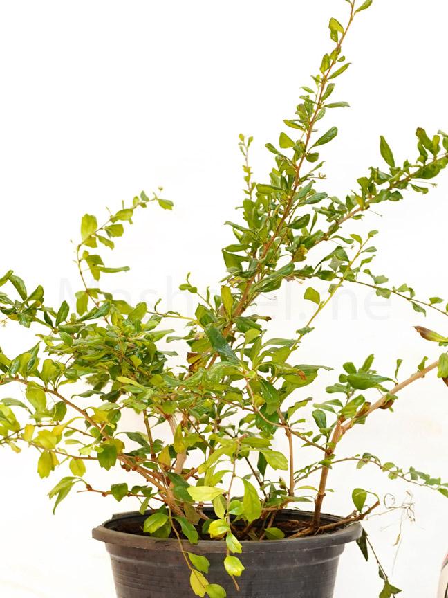Carmona Retusa M Outdoor Plants Trees