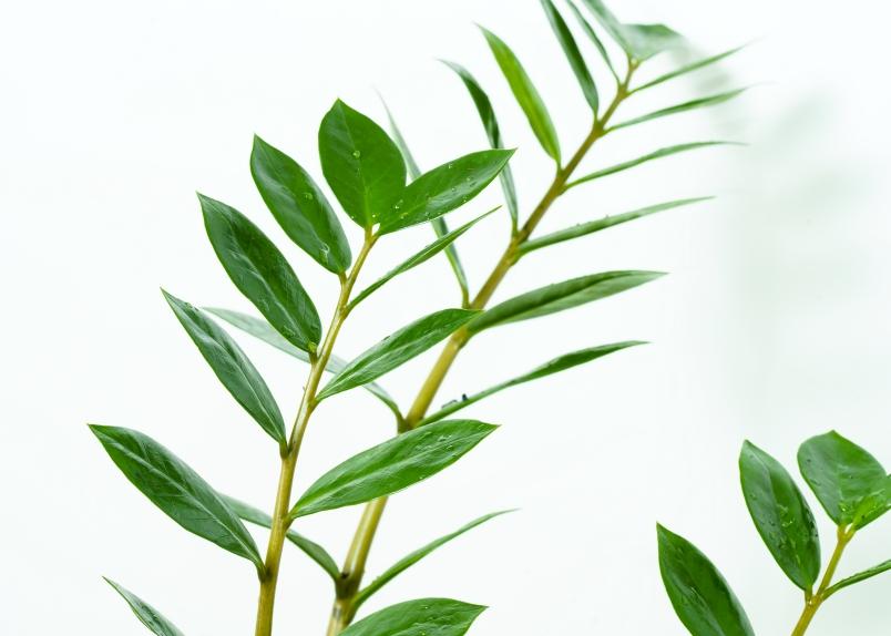 Zamioculcas zamiifilia Indoor Plants Shrubs