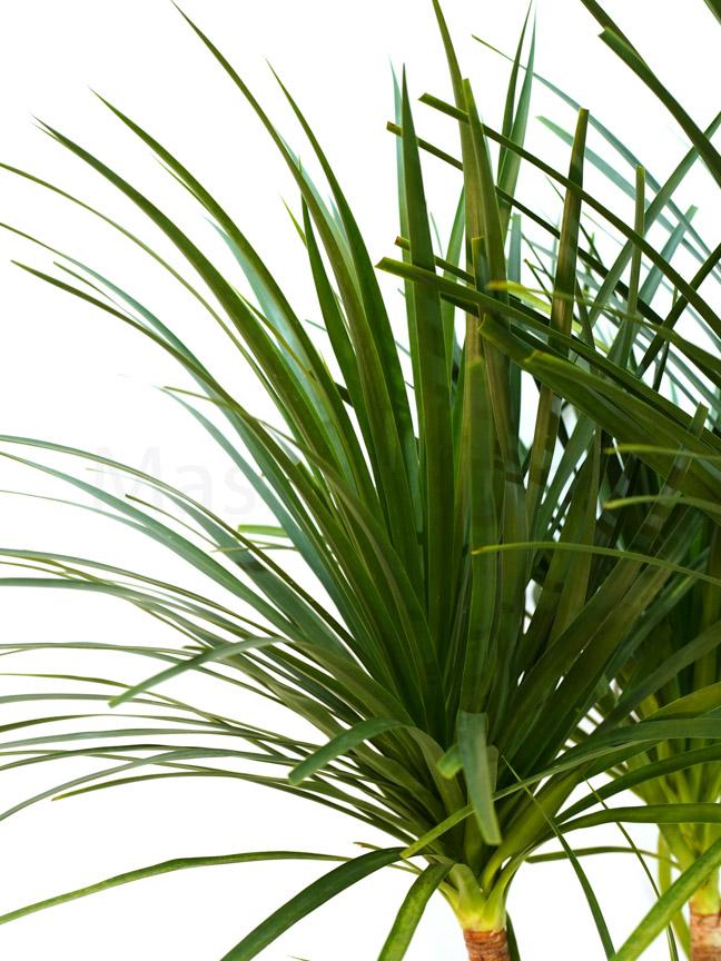 Dracaena Draco Indoor Plants Shrubs