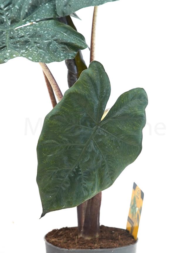 ألوكاسيا نباتات داخلية شجيرات