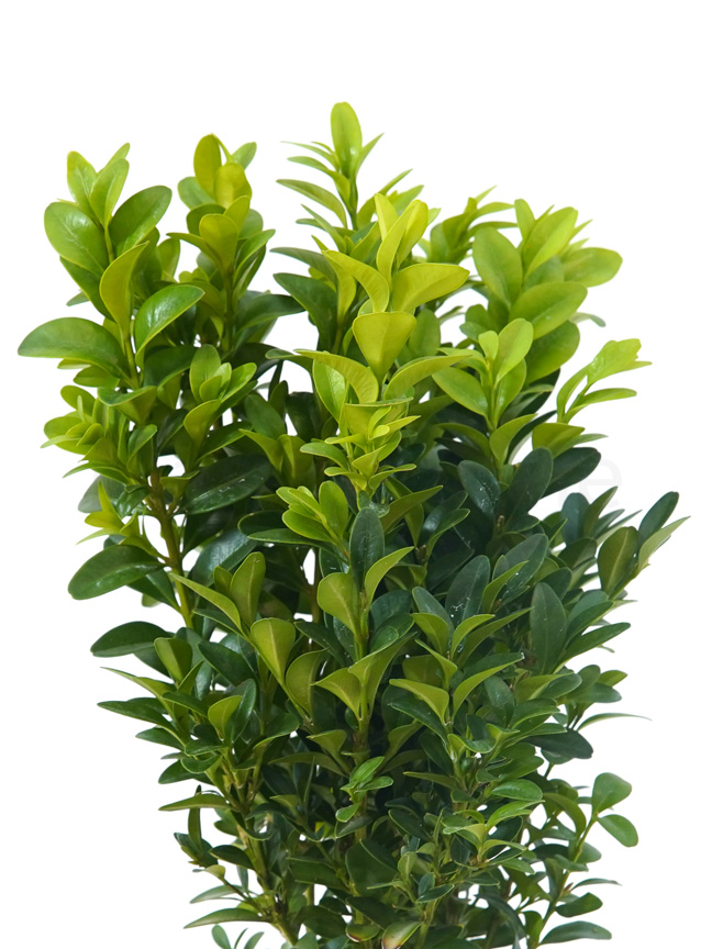 Buxus Semperviren P12 Indoor Plants Shrubs