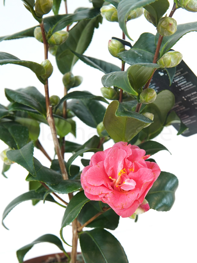 Camellia japonica Flame 15 Indoor Plants Flowering Plants