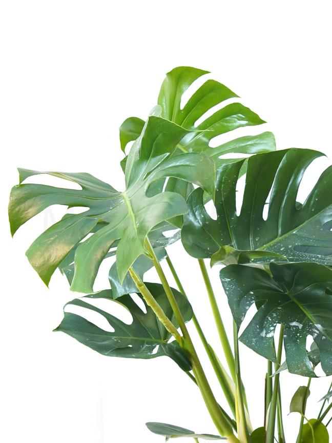 Monstera Deliciosa Large GP Indoor Plants Shrubs