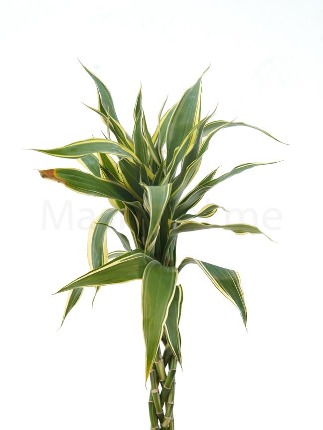Dracaena sandriana Braided Indoor Plants Bamboo