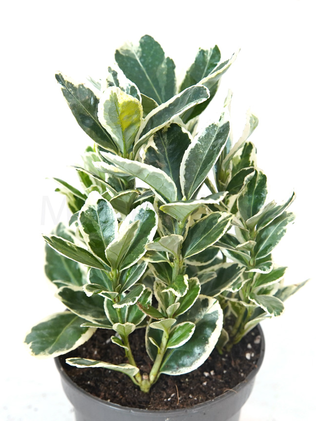 Euonymus Jap. Mixed White Indoor Plants Trees