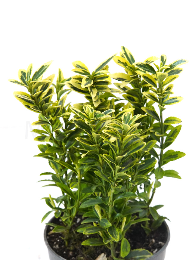 Euonymus Jap. Mixed Green Indoor Plants Trees