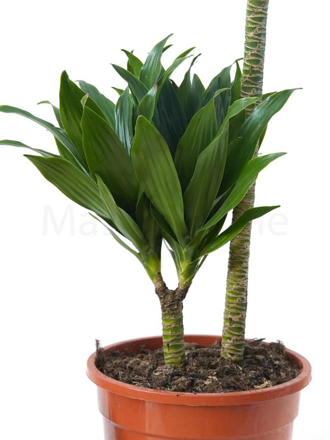 Dracaena Compacta P20 GP Indoor Plants Shrubs