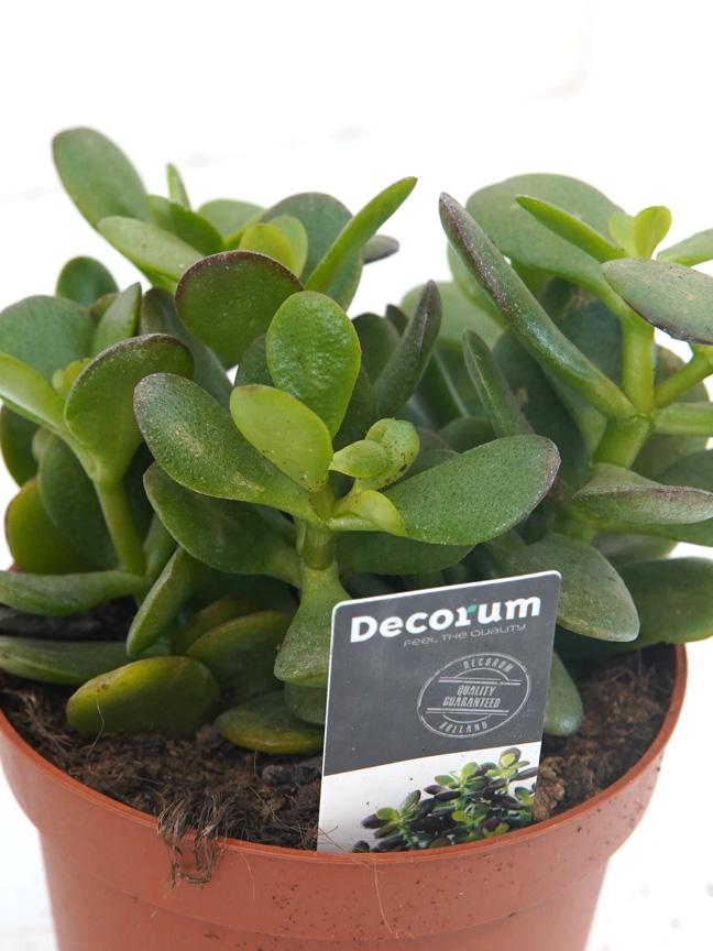 Crassula Ovata Minor Varigated Indoor Plants Succulent