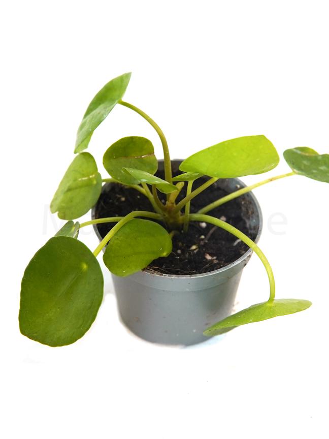 Pilea Peperomioides  Indoor Plants Shrubs