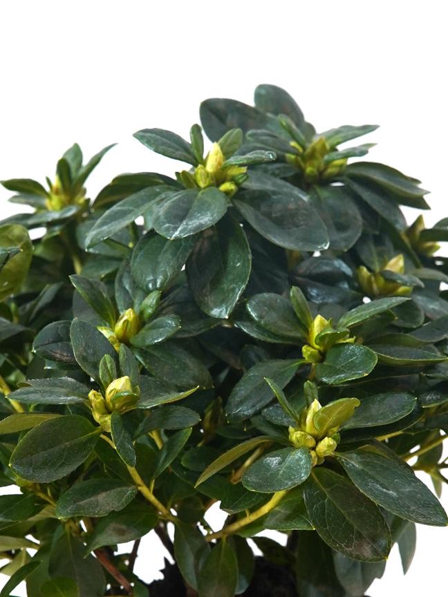 Rhododendron Mixed Azalia Indoor Plants Flowering Plants