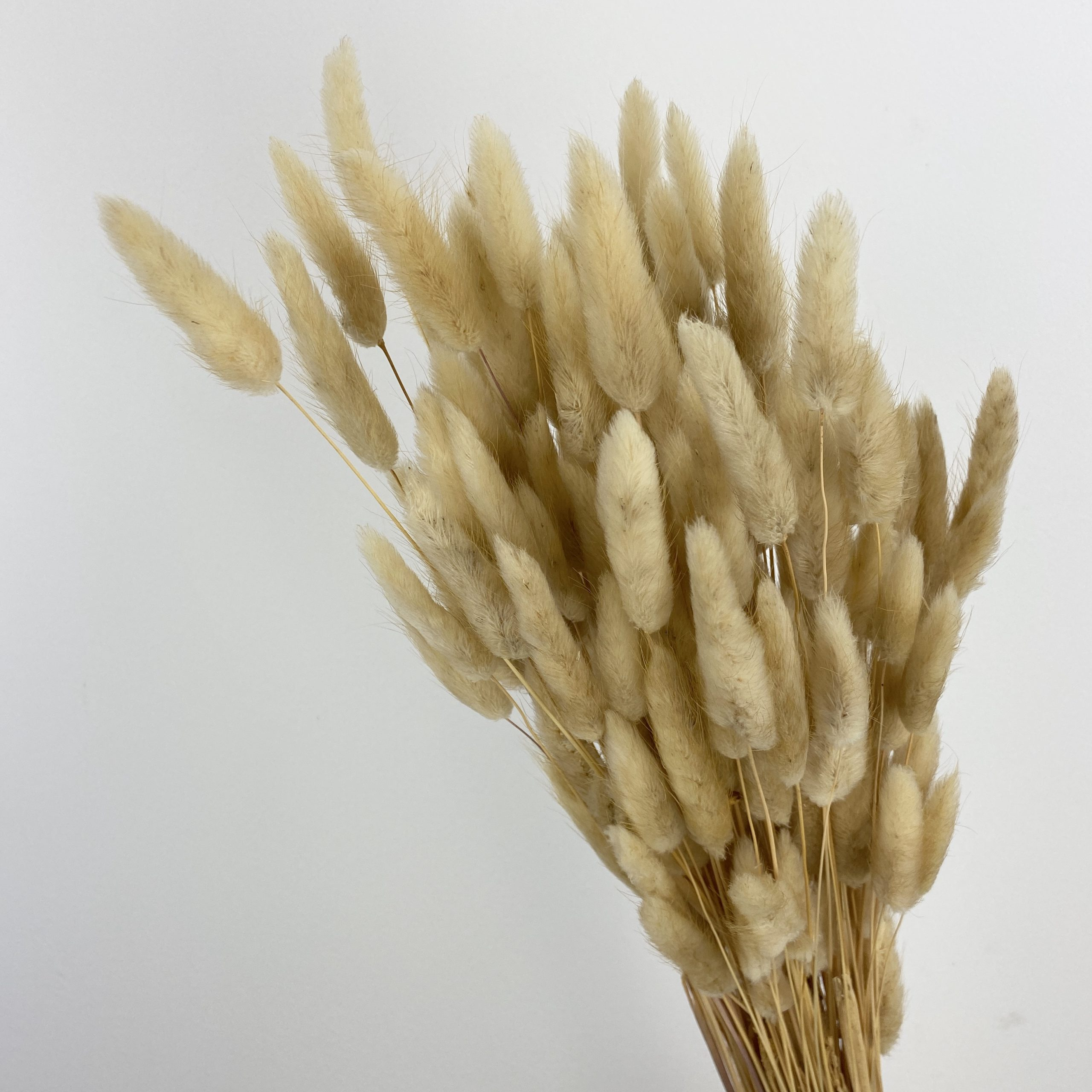 Dried Lagurus - Natural brown Wholesale Flowers [Special Deals] Dried Flowers
