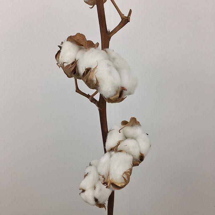 قطن  الزهور بالجملة ورود مجففة
