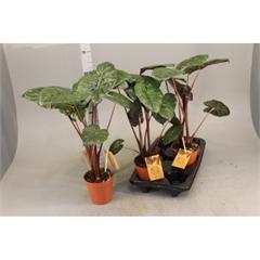 Alocasia Nairobi Nights (Duo) Indoor Plants Shrubs