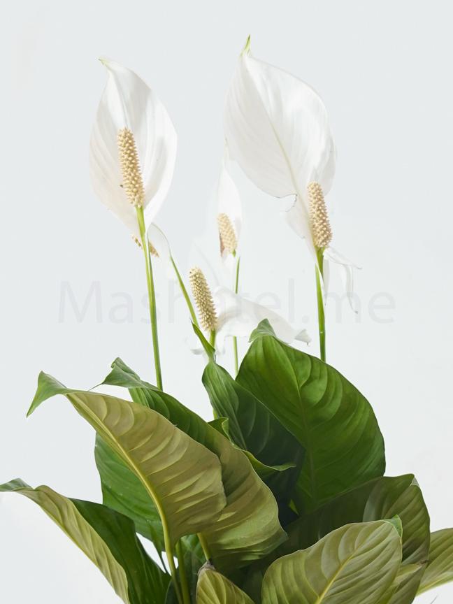Spathiphyllum Cupido Compacto Indoor Plants Flowering Plants
