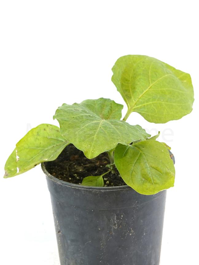 شجيرة الباذنجان نباتات خارجية خضروات