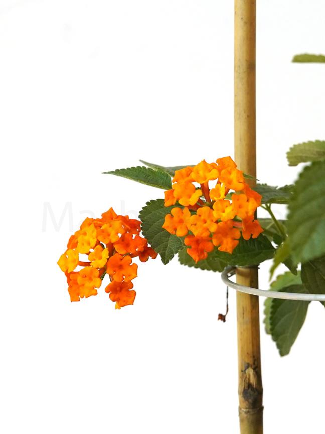 لانتانا 'نباتات خارجية النباتات المزهرة