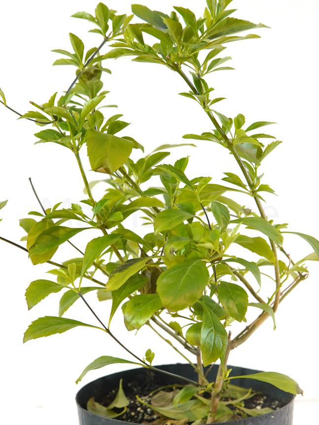 دورانتا 'نباتات خارجية شجيرات