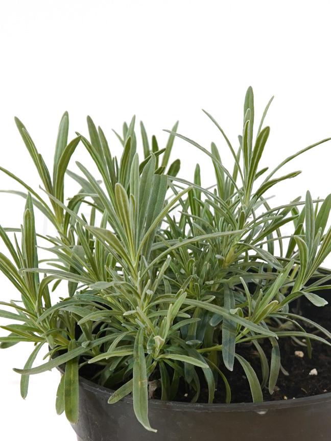 لافندار نباتات خارجية أعشاب