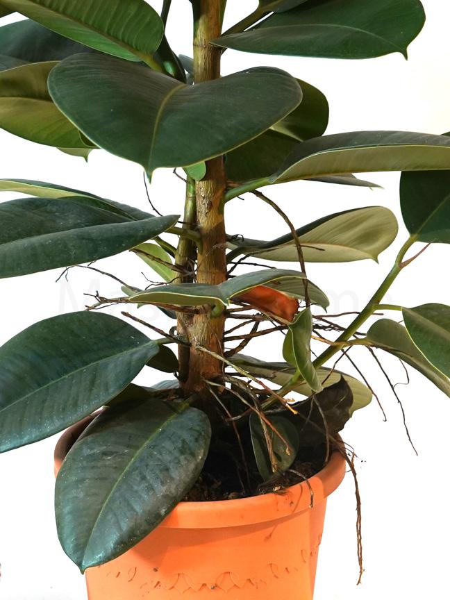 Ficus Robusta Large Indoor Plants Trees