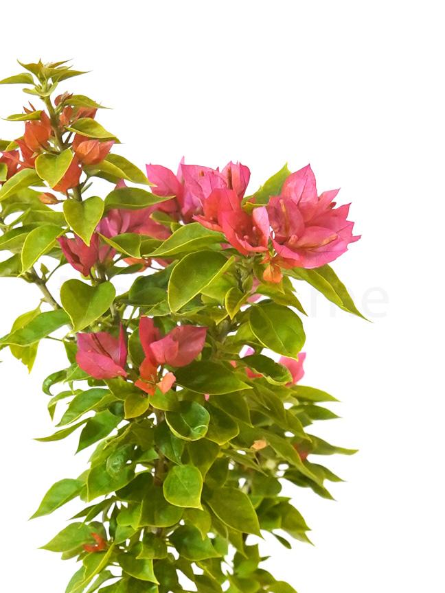 الجهنمية القزمة نباتات خارجية اشجار
