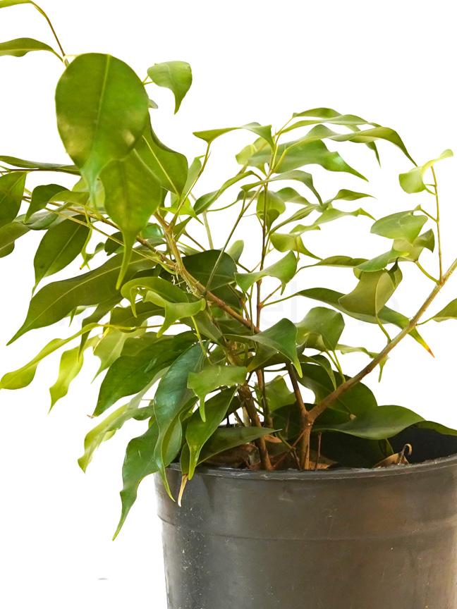 Ficus Benjamina Indoor Plants Shrubs