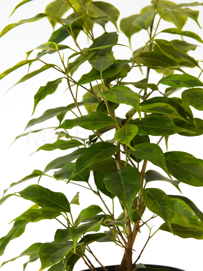 Ficus Benjamina Lime Indoor Plants Trees