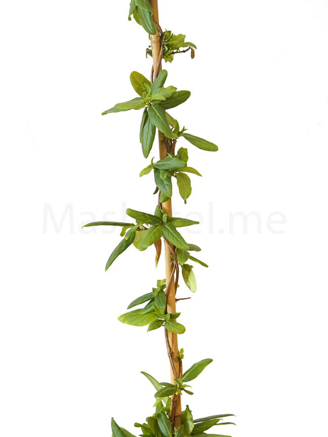 Lonicera Japonica Outdoor Plants Shrubs