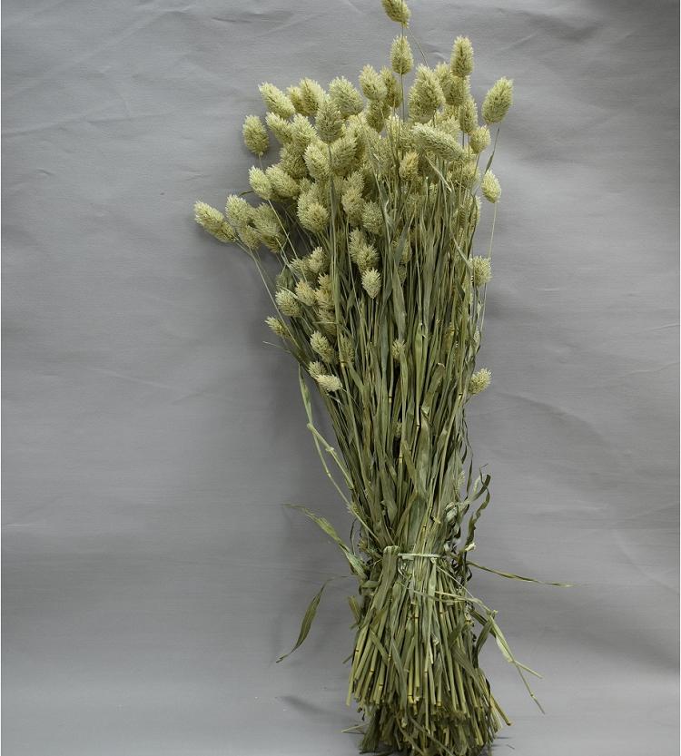 فالاريس طبيعي  الزهور بالجملة ورود مجففة