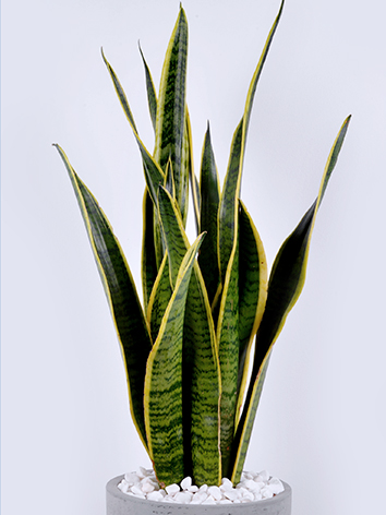 Sansevieria Concrete  Indoor Plants Succulent