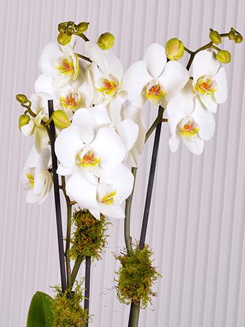White Phalaenopsis  Indoor Plants Flowering Plants