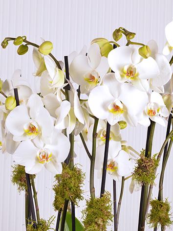 Black X White  Indoor Plants Flowering Plants
