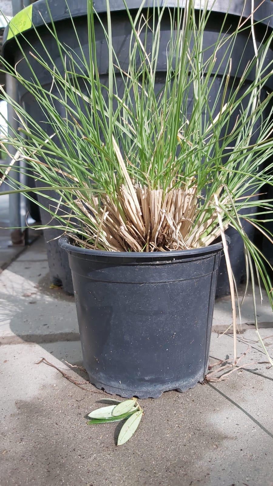 بنيسيتوم نباتات خارجية شجيرات