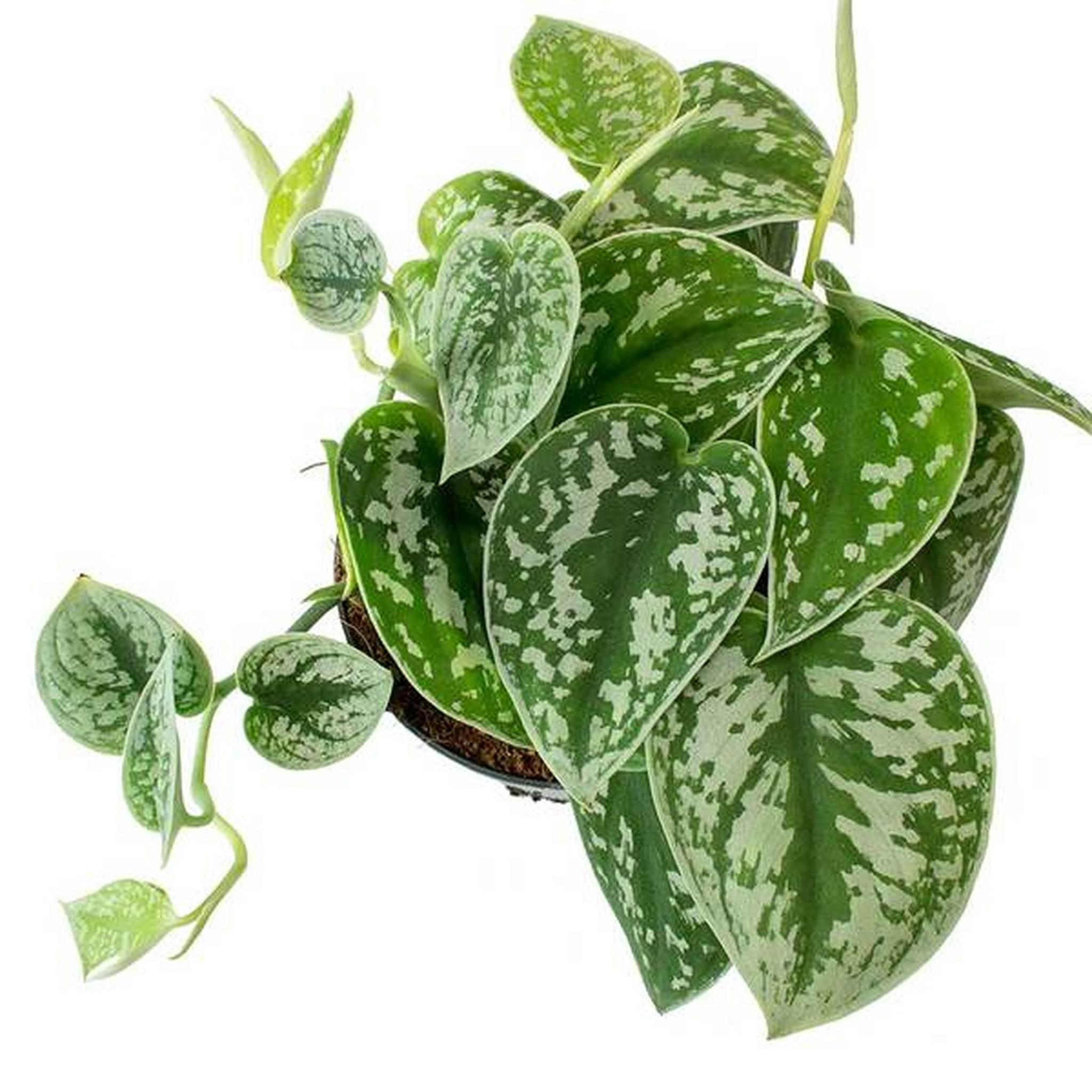 بيكتوس تريبي نباتات داخلية شجيرات