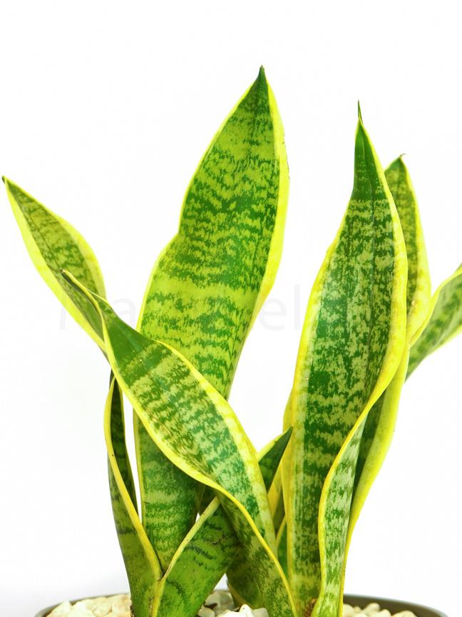 سانسيفيريا تريفاسياتا لورينتي التشكيلة الفخمة نباتات للمكتب