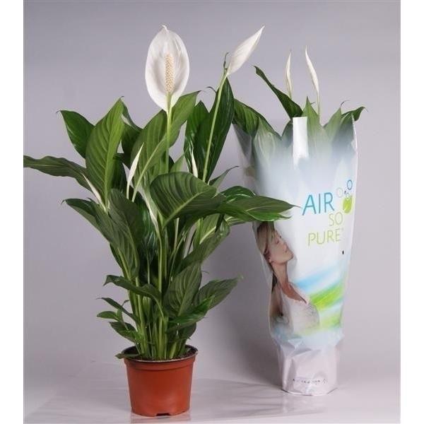Spathiphyllum Bingo Cupido Indoor Plants Flowering Plants