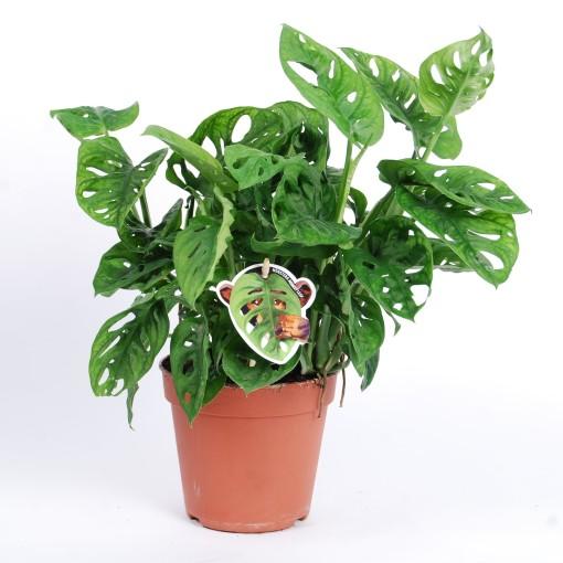 monstera obliqua 30 Indoor Plants Shrubs