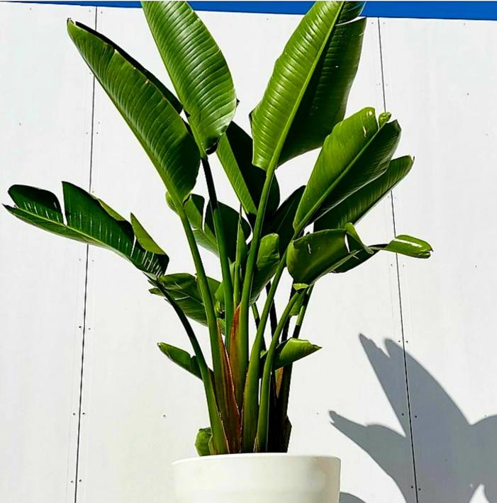 STRELIZIA SPAINE 'Indoor Plants Shrubs