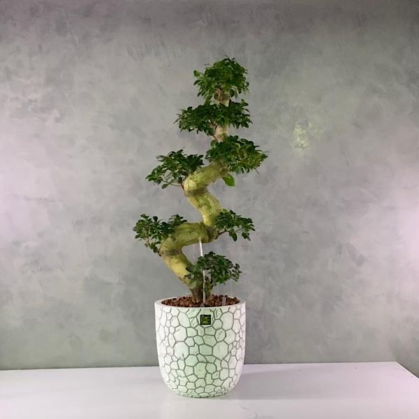 بونساي الحظ نباتات داخلية نباتات مائية