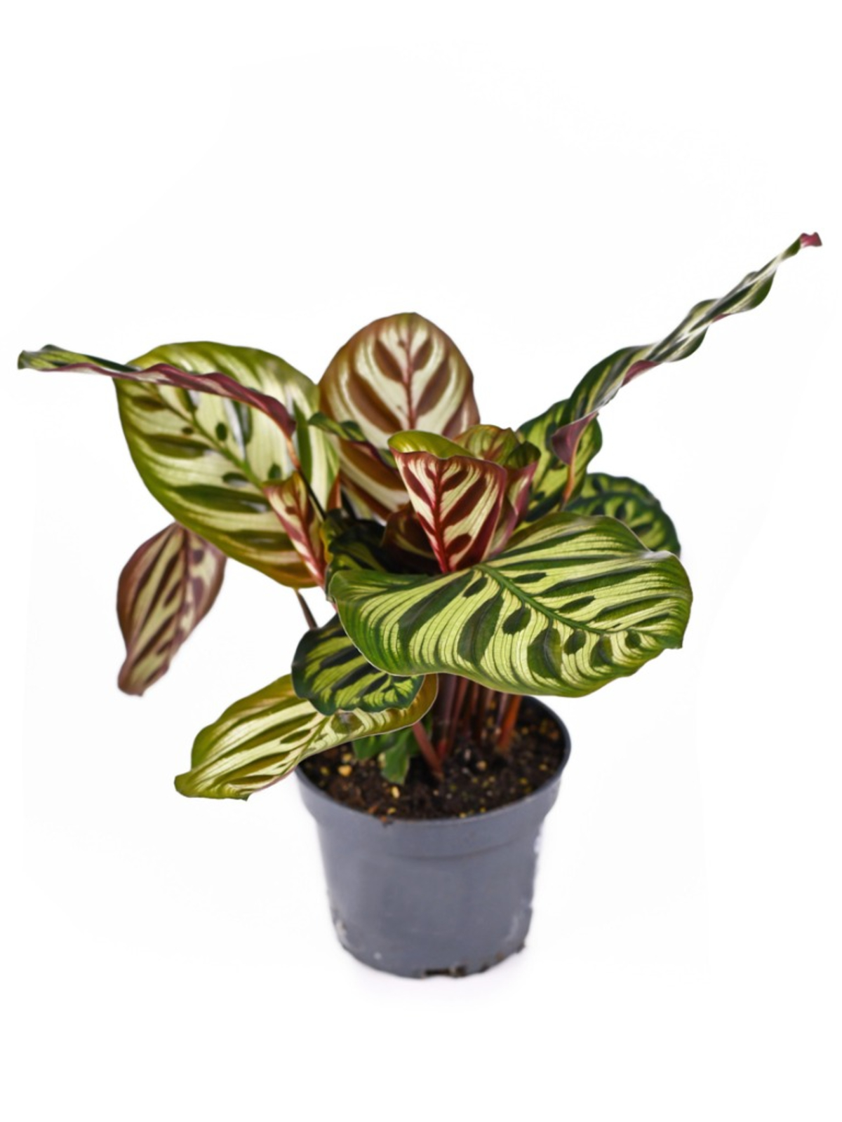 Calathea makoyana (peacock Plant) Indoor Plants Shrubs
