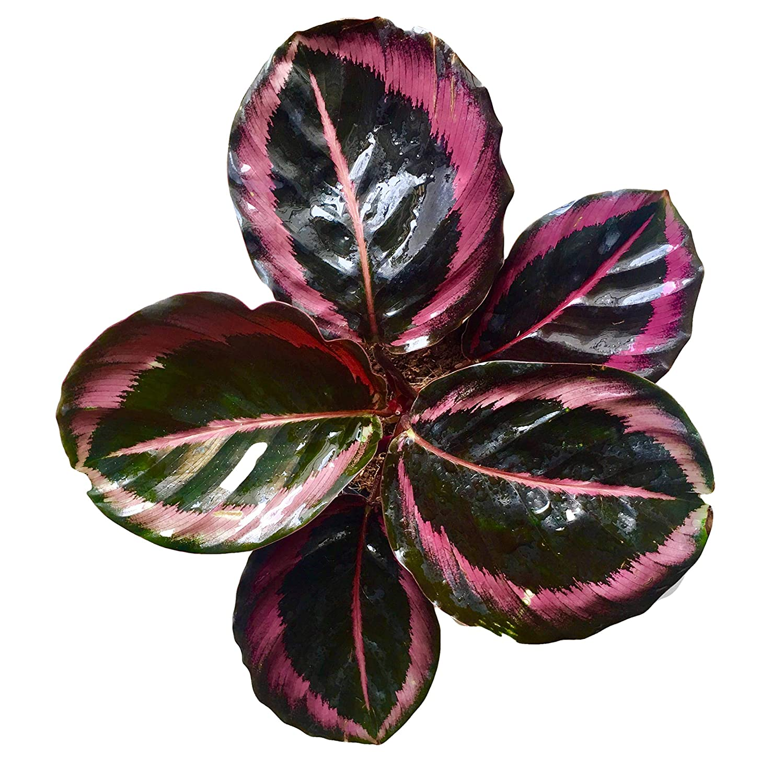 Calathea Roseopicta Surprise Star Indoor Plants Shrubs