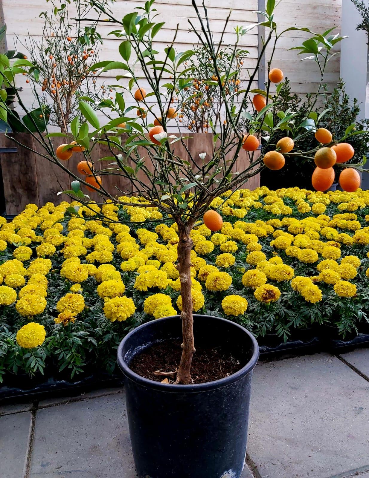 فورتونيلا مارجريتا نباتات خارجية اشجار