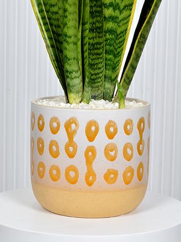 Beauty Sansevieria Office Plants Plant Arrangement