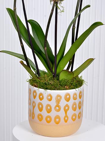 اوركيد الابيض التشكيلة الفخمة نباتات داخلية