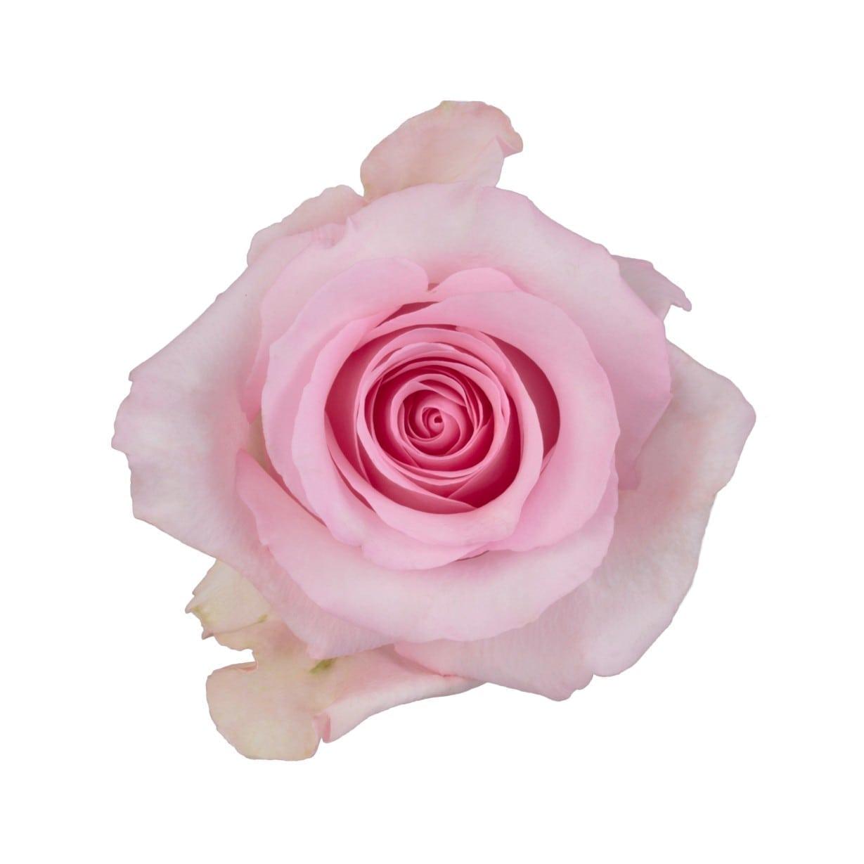 روز نينا بينك  الزهور بالجملة زهور مقطوفة